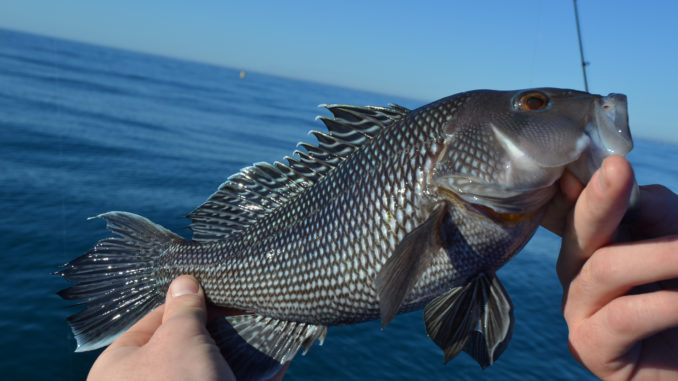 Black Sea Bass Are Scouring The Bottom In The Bluewater Out Of Murrells Inlet