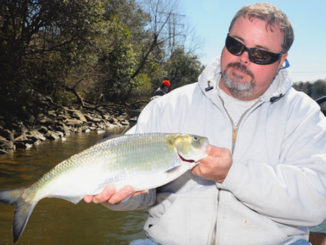 American shad aren't as common as hickoryshad during the spring run, but they are usually much larger, approaching 5 to 7 pounds.