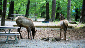 Elk are frequent visitors to the campground in Cataloochee Valley, which contains Cataloochee Creek.