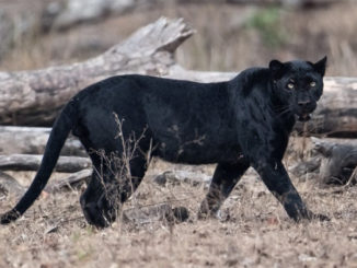 False black panther report lands man in jail