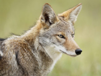 Proposed bill would pay $75 for every coyote killed in S.C.