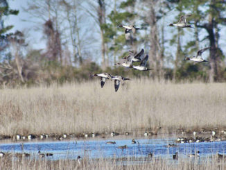 Timing the maturation and flooding of crops for waterfowl impoundments can have a huge impact on hunting success.
