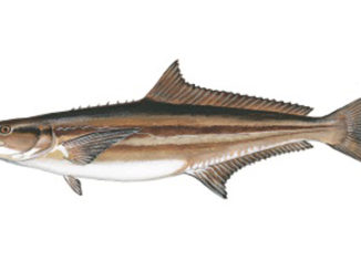 future of cobia
