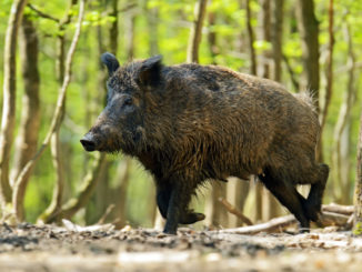 S.C. 2018 hog and coyote harvests up over previous year