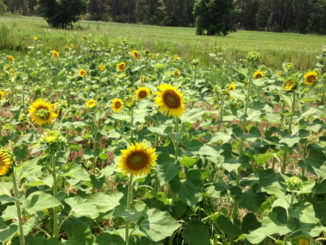 Plant sunflowers now in smaller deer plots
