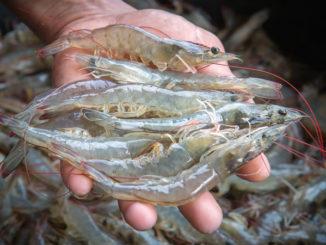 shrimp baiting