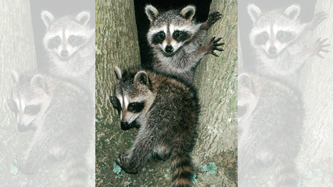 Youth Coon Hunt