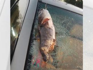 catfish shatters windshield