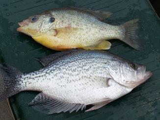 kayak panfish