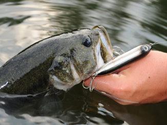 Lake Wylie bass