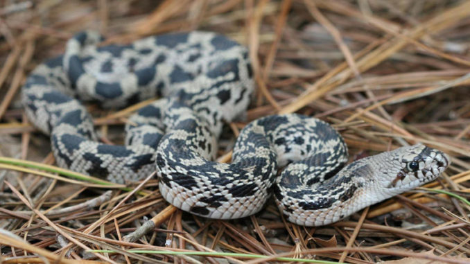 pine snakes
