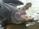 alligator harvests