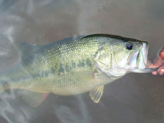 prespawn bass