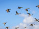migratory game bird